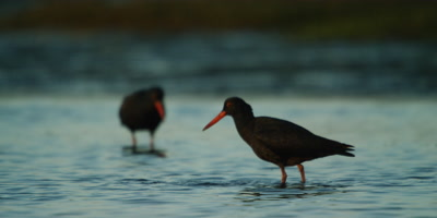 African Oystercatcher - pair feeding in estuary