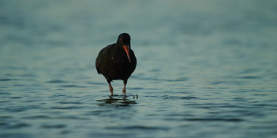 African Oystercatcher - feeding in estuary,eats worm