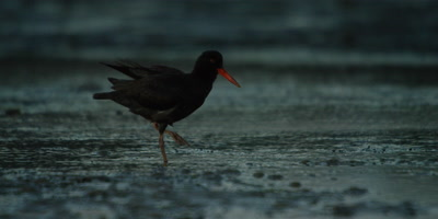 African Oystercatcher - standing on one leg,preening