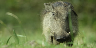 Warthog - looking at camera,then eating