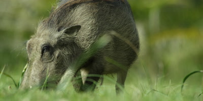 Warthog - grazing,from front