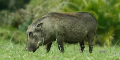 Warthog - grazing,from side