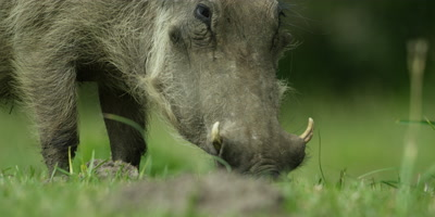 Warthog - grazing,from side,close up