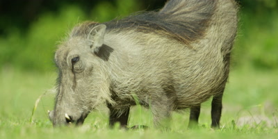 Warthog - kneeling to eat grass