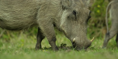 Warthog - grazing,from side,close up 2