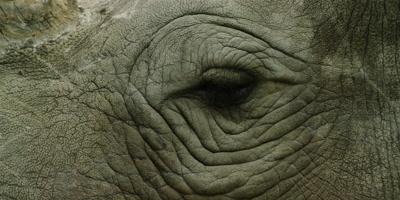 White Rhino - eye,close shot