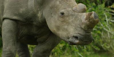 White Rhino - backing off