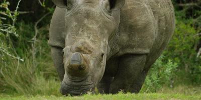 White Rhino - grazing,medium shot,dehorned