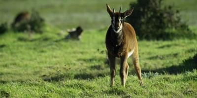 Sable Antelope - baby walks toward camera