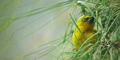 Cape Weaver - building a nest 4,threading grass,close shot