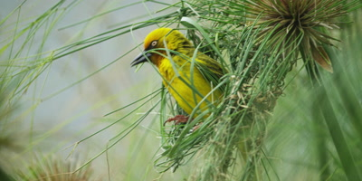 Cape Weaver - building a nest 0,arrives with piece of grass