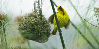 Cape Weaver - destroying a nest 3,mating display near damaged nest