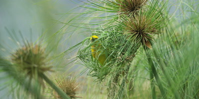 Cape Weaver - building a nest 5,threading grass,wide