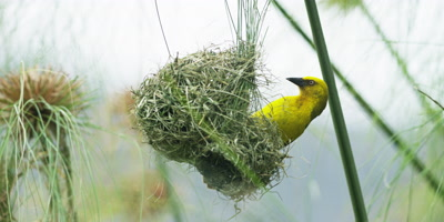 Cape Weaver - destroying a nest 4,removing lining