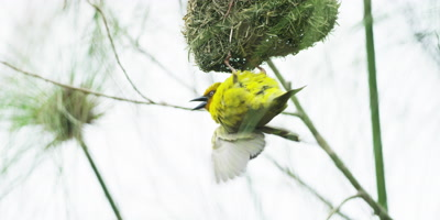 Cape Weaver - male doing courtship display under nest,medium shot