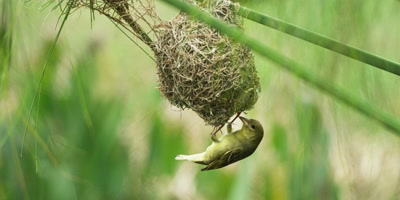 Cape Weaver - female inspecting then entering nest