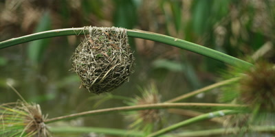 Cape Weaver - nest on reed above water