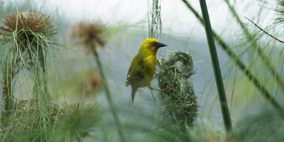 Cape Weaver - destroying a nest 9,pulling strands,flies off