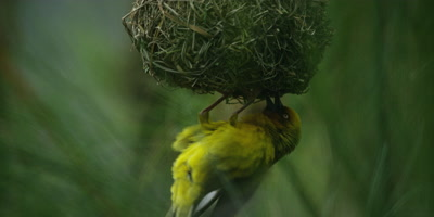Cape Weaver - male entices female to leave nest