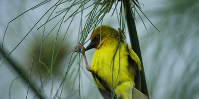 Cape Weaver - preparing to build a nest