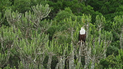African Fish Eagle - Sitting in tree 2