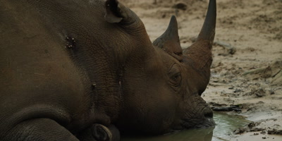 White Rhino lying in water - head, close up