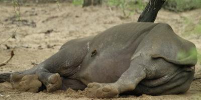 Rhino - lying under tree, oxpeckers looking for ticks, medium shot