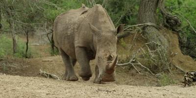 White Rhino - approaching waterhole over hill, medium shot