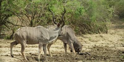 Greater Kudu - pair drinking