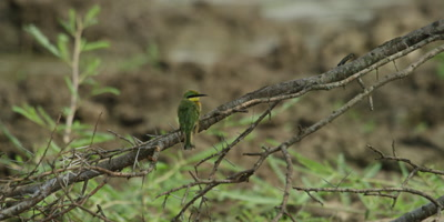 Little Bee-eater - sitting on branch