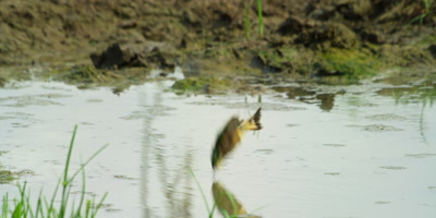 Little Bee-eater - plunge bathing