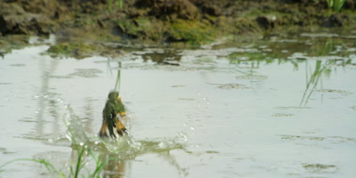 Little Bee-eater - plunge bathing 2