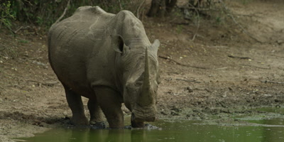 White Rhino - standing in water, looking toward camera