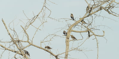Wattled Starling - flock on thorn tree, wide