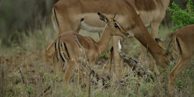 Impala family - baby standing next to mother