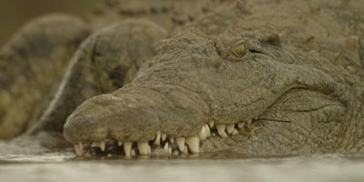 Nile crocodile - turns to side, close shot