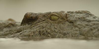 Nile crocodile - closes eye and submerges, close shot