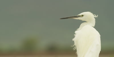 Little egret - from behind, feathers blowing in the wind