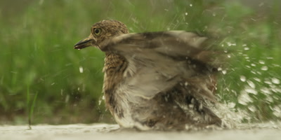 Water thick-knee - bathing, close up