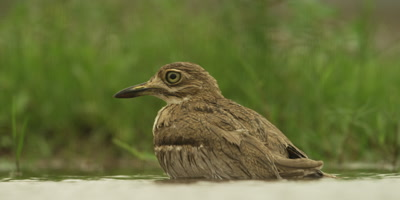 Water thick-knee - sitting in water