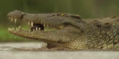 Nile crocodile - walking in water, eating entrails
