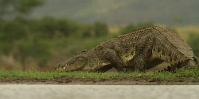 Nile crocodile - walking away from water
