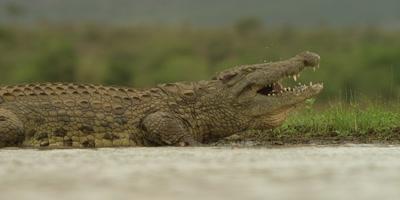 Nile crocodile - swallowing entrails, medium shot