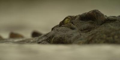 Nile crocodile - moving toward camera, close shot