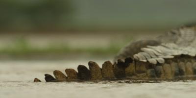 Nile crocodile - moving away from camera