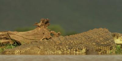 Nile crocodile - enters water