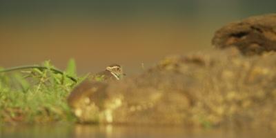 Nile crocodile - focus pull from bird to croc head, close shot