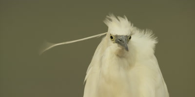 Little egret - looking around, plumes blowing, close up