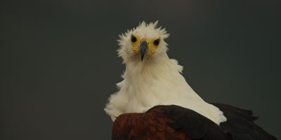 African fish eagle - turns to camera, close up of head