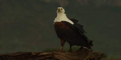 African fish eagle - standing on log, looking around